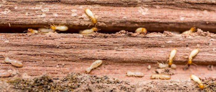 شركة رش النمل الابيض بجدة